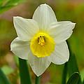 Daffodil by Ken Stampfer