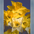 Daffodils by David Birchall