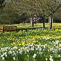 Daffodils by Lana Enderle