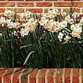 Daffodils by TouTouke A Y
