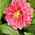 Dahlia Flower by Millard H. Sharp