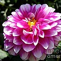 Dahlia Named Brian Ray by J McCombie