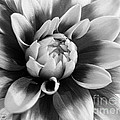 Dahlia Named Mystery Day by J McCombie