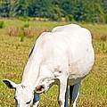 Dairy Cow by Millard H. Sharp