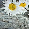 Daisies by Mythja  Photography