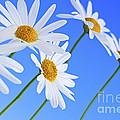 Daisy Flowers On Blue Background by Elena Elisseeva