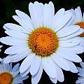 Daisy by Shannon Louder