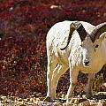 Dall Sheep by Kyle Lavey