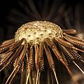 Dandelion Seeds by Iris Richardson
