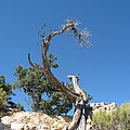 Dead Tree At Grand Canyon by Christiane Schulze Art And Photography