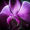 Deep Purple Orchid by Sheree Lauth