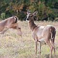 Deer At Paynes Prairie by Paul Rebmann