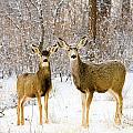 Deer In The Snowy Woods by Steve Krull