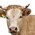 Detail Of Cow Head by Michal Boubin