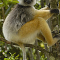 Diademed Sifaka Madagascar by Pete Oxford