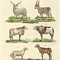 Different Kinds Of Sheep by Splendid Art Prints