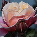Distant Drum Rose Bloom by Patricia Hiltz