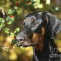 Dobermann Dog by John Daniels