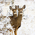 Doe Mule Deer In Snow by Steve Krull