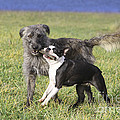 Dogs Playing With Stick by Jean-Michel Labat