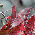 Dogwood  Autumn by Luv Photography