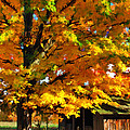 Door County Yellow Maple Migrant Shack by Christopher Arndt