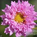 Double Click Cosmos Named Rose Bonbon by J McCombie