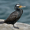Double-crested Cormorant by Anthony Mercieca