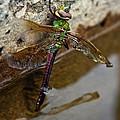 Dragonfly Dreams by Elizabeth Cernik