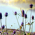 Dream Field Of Teasels by Gothicrow Images