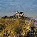 Driftwood In Beach Grass by Allan  Hughes