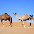 Dromedary Camel (camelus Dromedarius by Martin Zwick