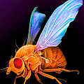 Drosophila by David M. Phillips