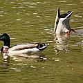 Ducks by Karl Rose