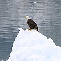 Eagle On Ice by Shoal Hollingsworth