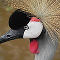 East African Crowned Crane by Adrienne Petterson