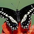 Eastern Black Swallowtail Butterfly by Millard H. Sharp