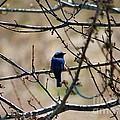 Eastern Bluebird by J McCombie