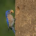 Eastern Bluebird  by Susan Candelario