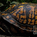 Eastern Box Turtle by Joshua Bales
