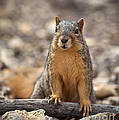 Eastern Fox Squirrel by Brandon Alms