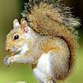 Eastern Gray Squirrel by Millard H Sharp