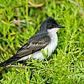Eastern Kingbird by Anthony Mercieca