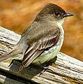 Eastern Kingbird by Art Dingo