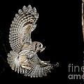 Eastern Screech Owl by Anthony Mercieca