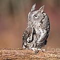 Eastern Screech Owl by Joshua Clark