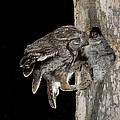 Eastern Screech Owls At Nest by Anthony Mercieca