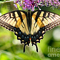 Eastern Tiger Swallowtail Butterfly by Karen Adams