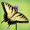 Eastern Tiger Swallowtail Butterfly Square by Karen Adams
