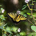 Eastern Tiger Swallowtail by Carol  Bradley